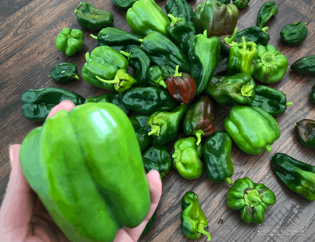 Hand holding a green bell pepper in front of a pile of other peppers