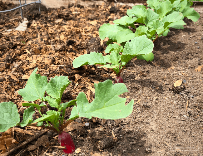 Row of radishes in garden bed