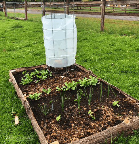 A garden bed with a tomato cage wrapped in greenhouse plastic