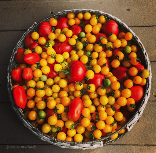 Large basket of yellow cherry tomatoes and red Roma tomatoes