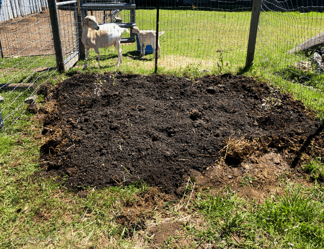 Plot of prepared and planted garden soil with goats in the background