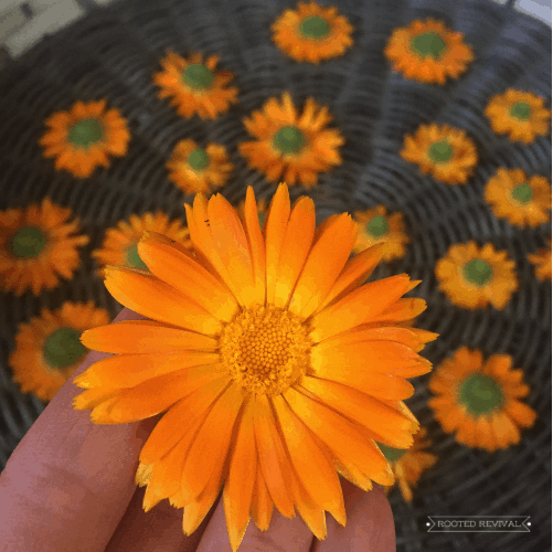 Hand holding a calendula blossom in front of several other blossom heads that are drying