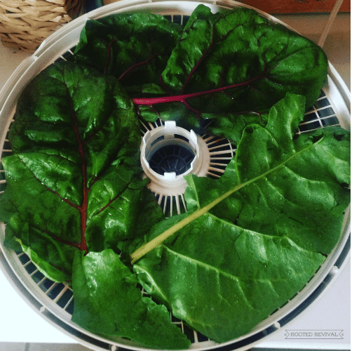 dehydrator tray with colorful rainbow chard leaves laying on it