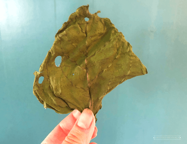 fingertips holding up a piece of dried chard