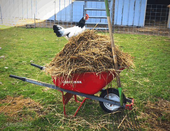 A chicken stands on a wheelbarrow full of straw and hay