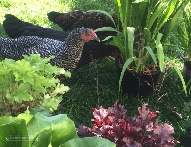 A barred chicken stands among green foliage