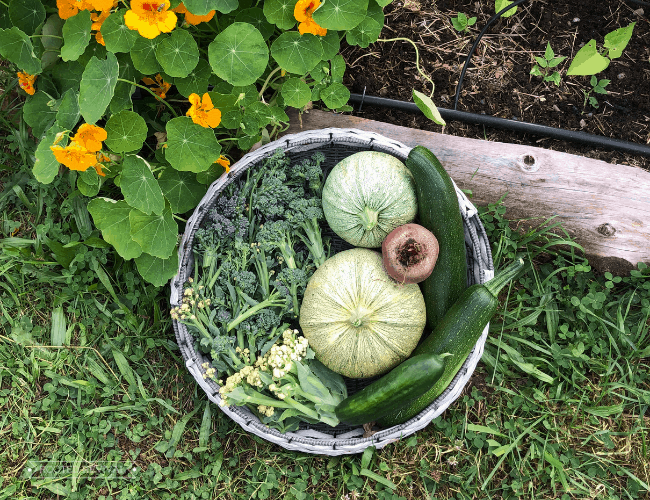A large flat round woven basket filled with round zucchini, dark green zucchini and broccoli sitting agains a low raised bed with yellow flowers in it