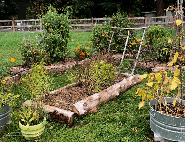 Raised garden beds surrounded by grass paths. Near the beds are potted plants. The plants in the beds and plant are slightly yellowed and dying back from the end of season cool weather