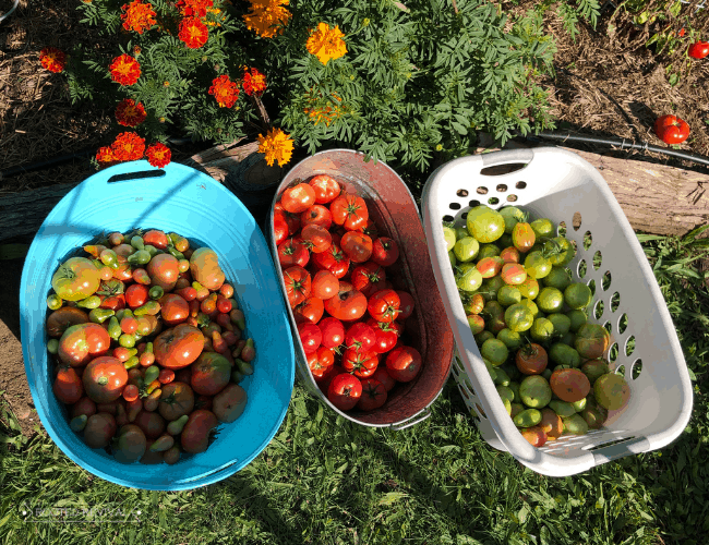 3 bins sitting on the ground in front of a raised garden bed with marigolds growing in it. The first bin has semi-ripe tomatoes, the 2nd bin has ripe tomatoes and the 3rd bin has green tomatoes