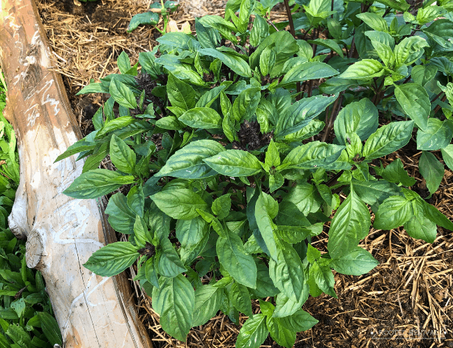 A large healthy green basil plant in a raised garden bed