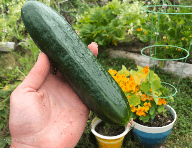 Hand holding a dark green cucumber. In the background are pots full of flowers and vegetables in raised beds