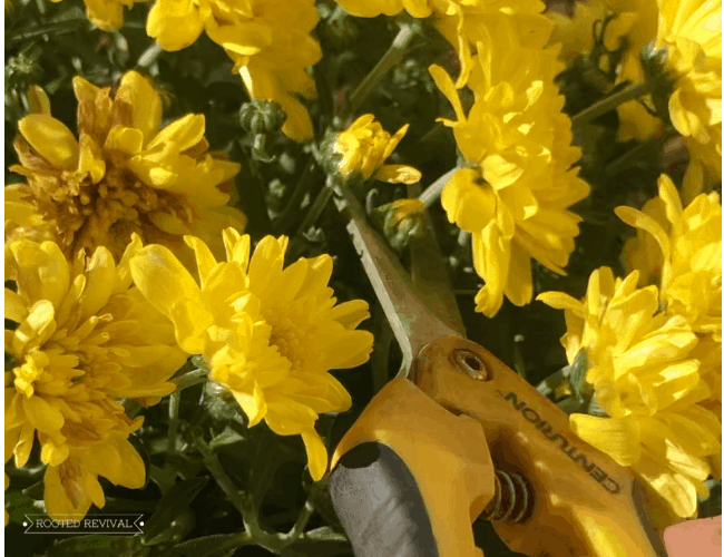 A hand holding garden snips and cutting bright yellow mum blossoms