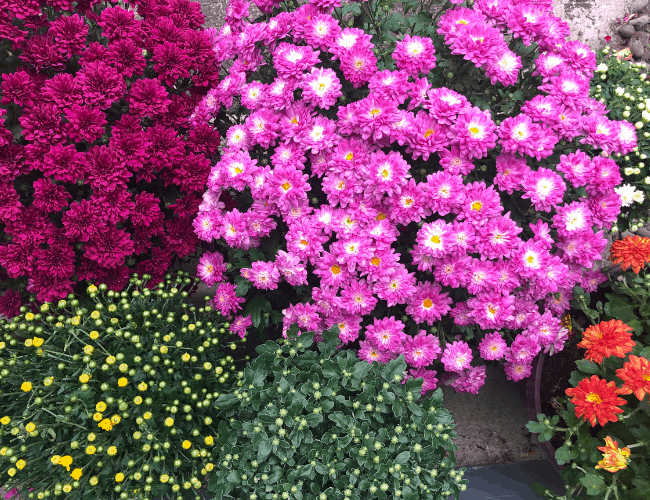 colorful mums sitting next to each other. There are purple and dark maroon mums in full bloom