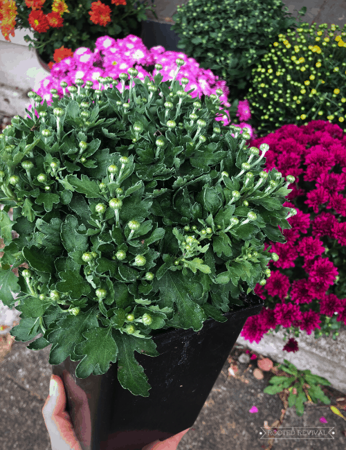 A hand holding a mum in a nursery pot in front of other blooming mums. The mum being held has lots of unopened blossom buds.