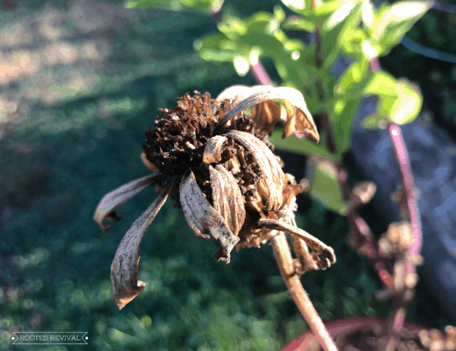 A zinnia flower blossom that has died back. It only has a few petals which are brown and wilted=