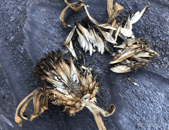 A zinnia head that has died back laying on a weathered wood back drop. Next to it are pieces of the chaff and seeds