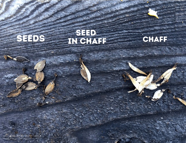 """3 small piles laying on a weathered wood backdrop. The first pile is zinnia seeds and labeled """"seeds"""". The second pile is one single seed half emerging from chaff, labeled """"seed in chaff"""". The third pile is of light colored plant chaff and is labeled """"chaff""""."""