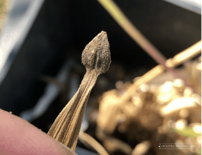 A close-up of a dark brown arrowhead shaped zinnia seed attached to a dried petal.