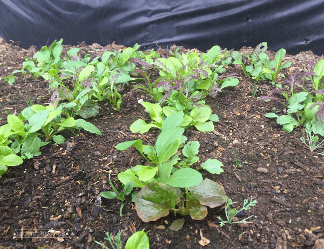 A row of lettuce greens growing in the soil in a raised cold frame