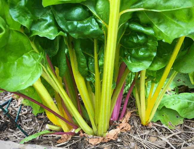 Colorful stalks of rainbow chard popping out of mulched soil