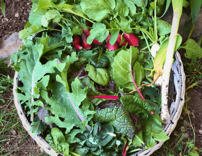 A large round basket filled with greens and radishes as well as some young garlic stalks