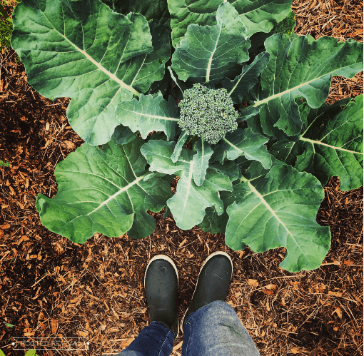A large broccoli plant with a well formed head surrounded by bark mulch and a woman's feet in garden boots standing near the plant